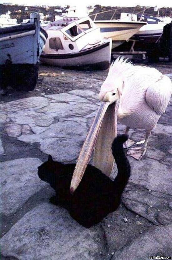 Ambitious Pelican